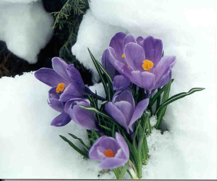 When it seems like winter will never lose its icy grip, the dainty goblet-shaped crocus pushes through the snow to put on a show of colorful revival.